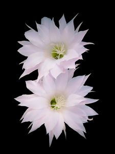 Flowers of cactus