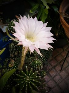 Flower of cactus