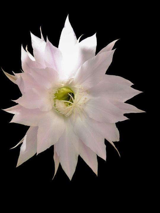 Flowers of cactus - Igor