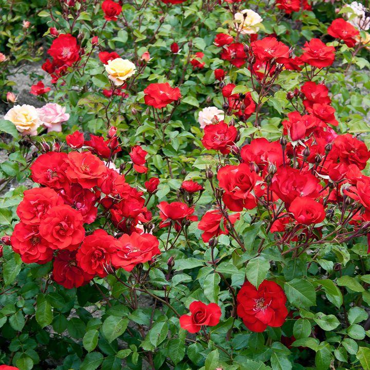 Roses on flowerbed - Igor