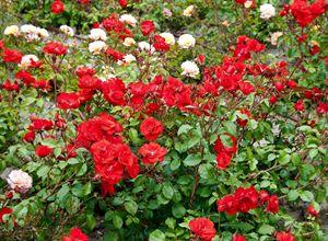 Roses on flowerbed