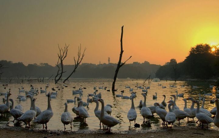 Swans - Neil Sudhakar