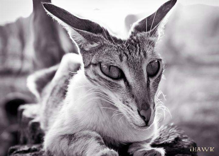 Devil Cat - iHawk