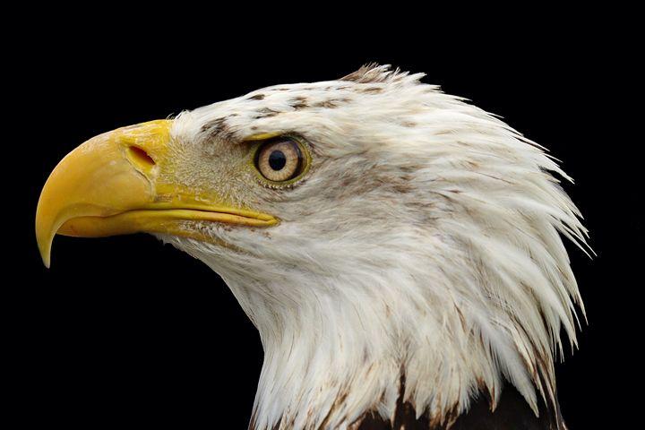 P3156445 Eagle - Stephen Ham Photography