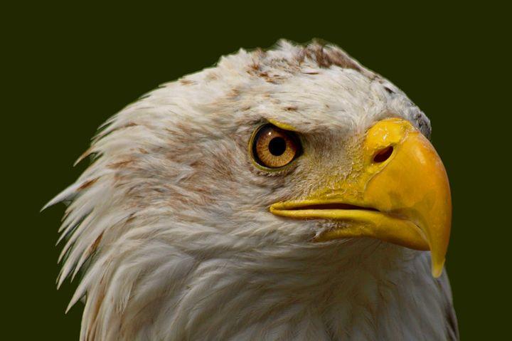 P3156444 Bald Eagle - Stephen Ham Photography