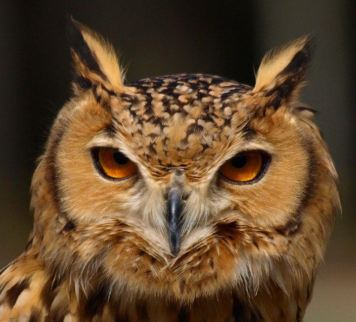 P315234 Eurasian Eagle Owl - Stephen Ham Photography