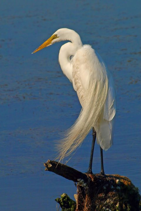 P6080604 Great Egret - Stephen Ham Photography