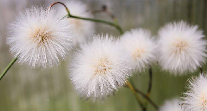 White fluffy balls. - German S