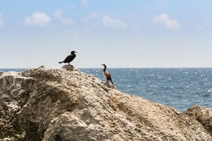 A pair of cormorants on a rock.
