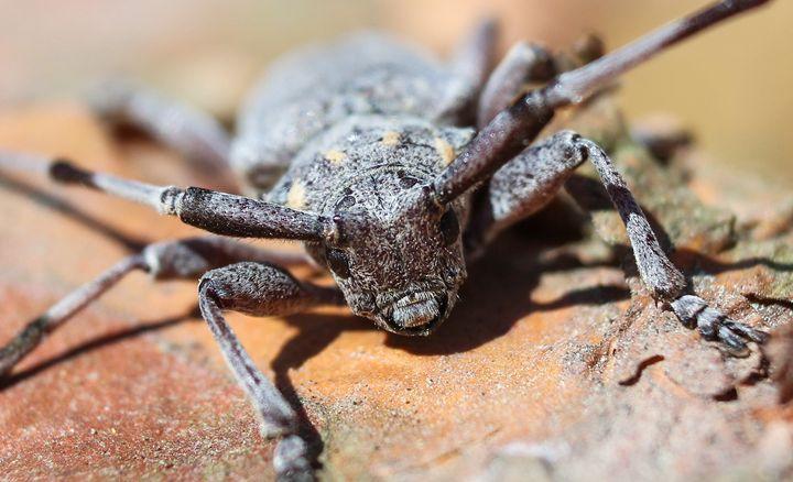 Beetle barbel. - German S