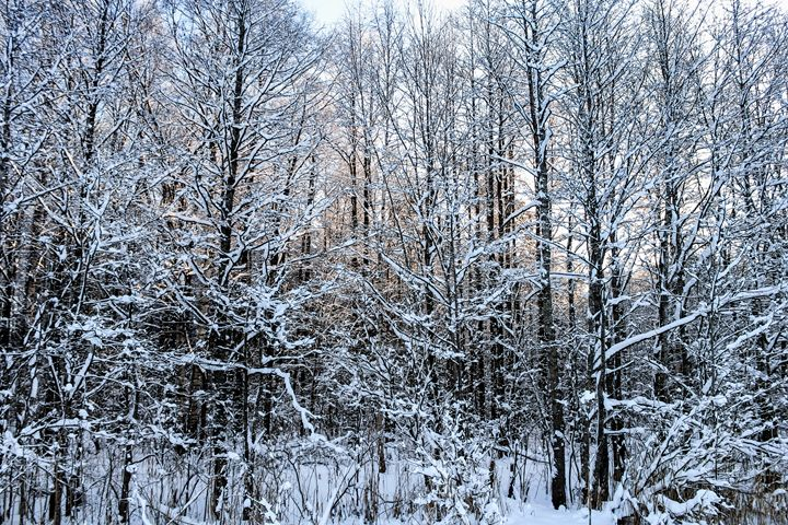 Snowy branches of trees. - German S
