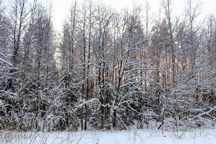 Snow on the bare branches. - German S