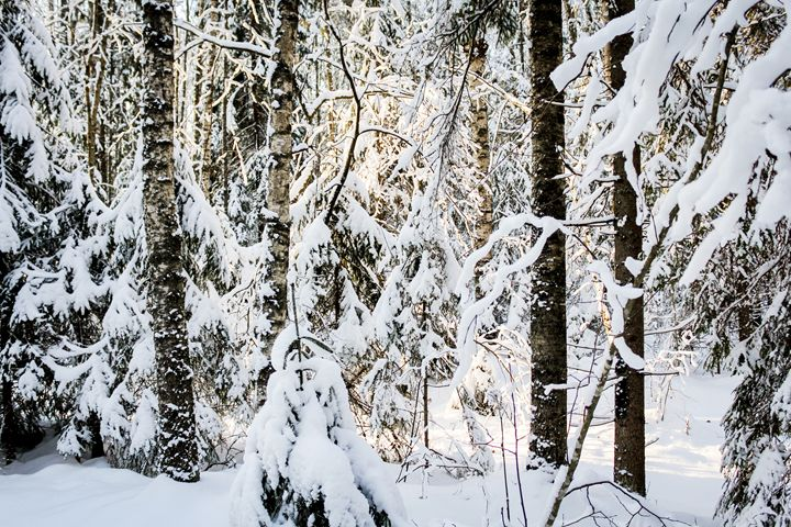 The abundance of snow in the forest. - German S