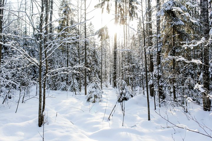 Snow and sun in the forest. - German S