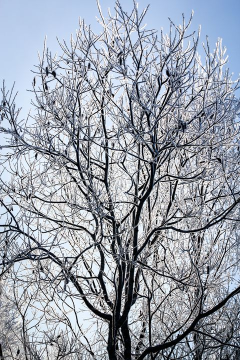 Hoarfrost on the branches of a tree. - German S