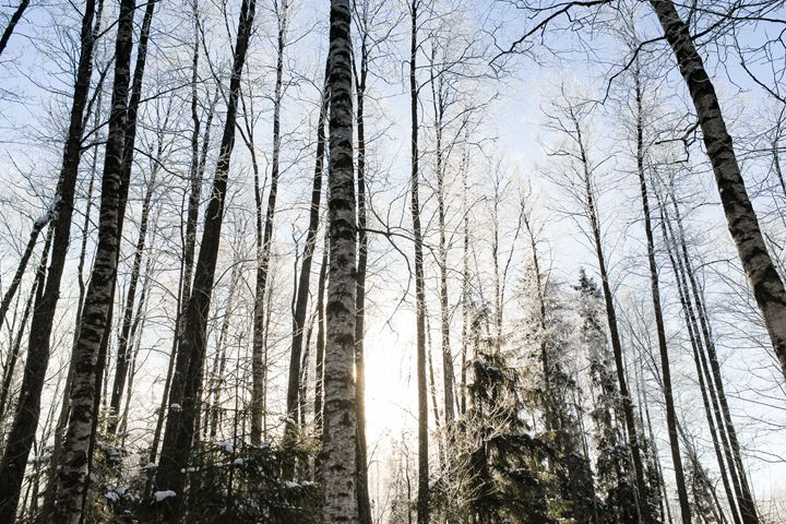 Morning in the winter forest. - German S
