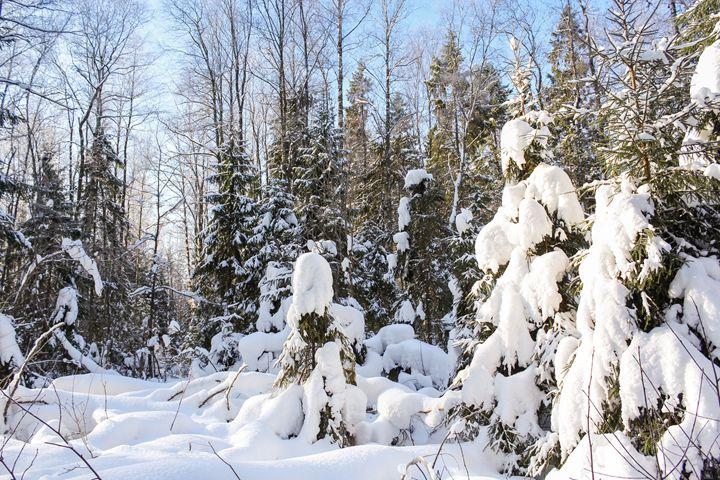 White winter forest. - German S
