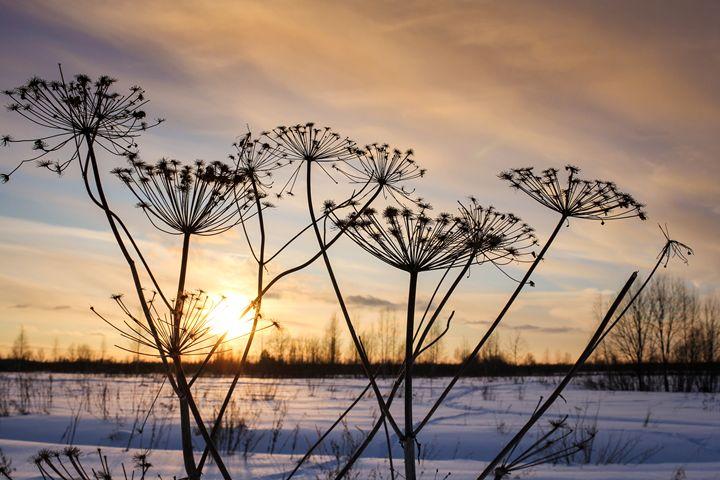 Silhouettes of plants at sunset. - German S