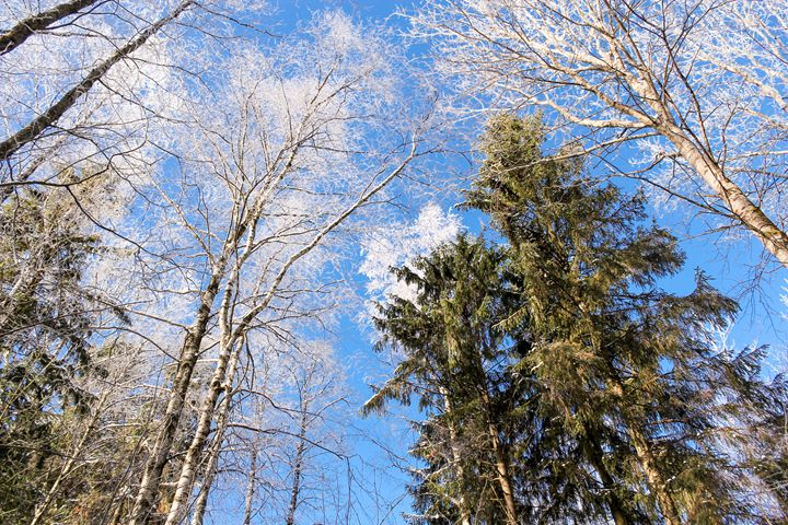 In the winter forest. - German S