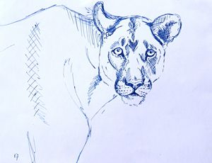 Female Lion Sketch
