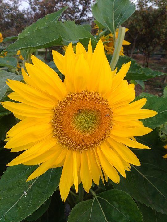 Sunflower - kundan