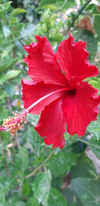 red hibiscus - kundan