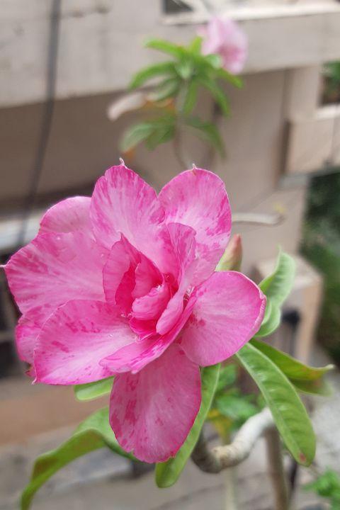 pinky panther.....flower - kundan