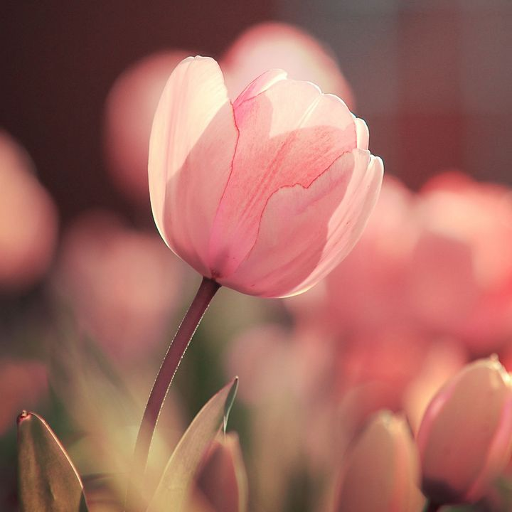 Pink tulip flower photography - Creative Photography