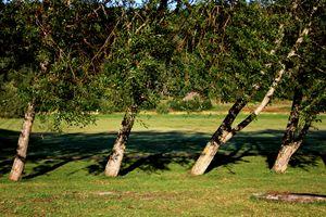 Bent Trees