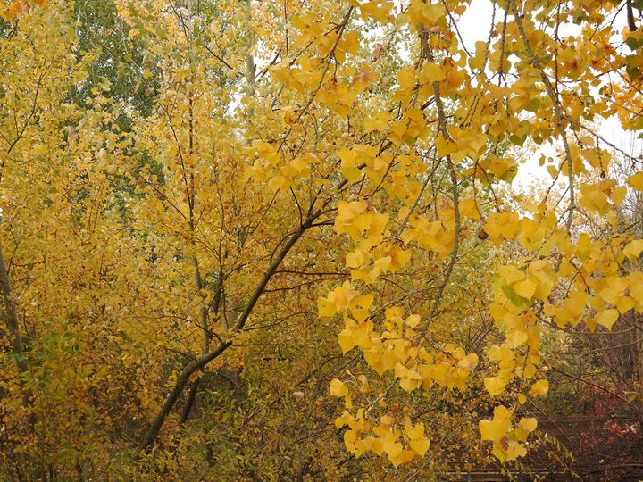 Yellow Autumn - Cole T