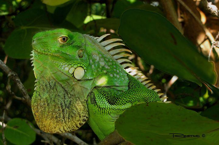 Iguana Lizard - Terry Restivo