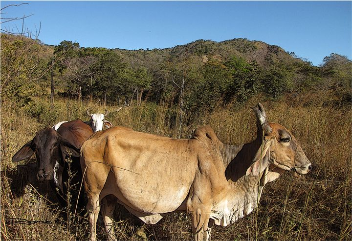 Field Oxen - Terry Restivo