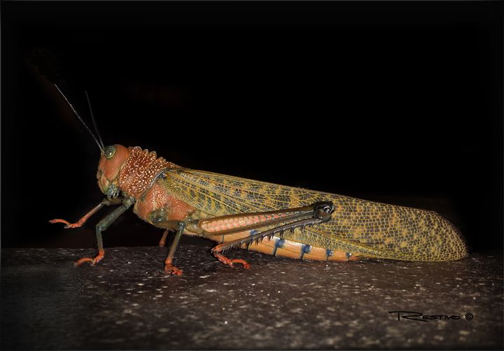 Giant Winged Grasshopper - Terry Restivo