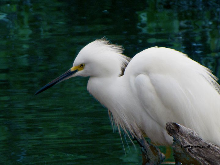 Snowy Egret - Terry Restivo