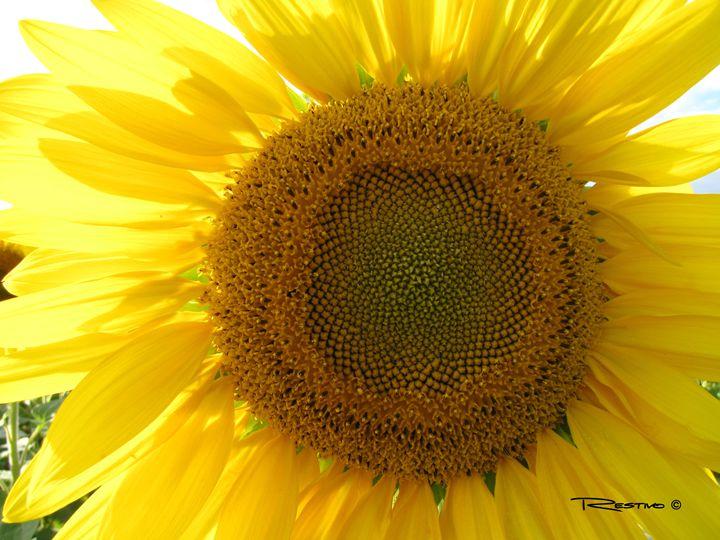 Sunflower Sunshine - Terry Restivo