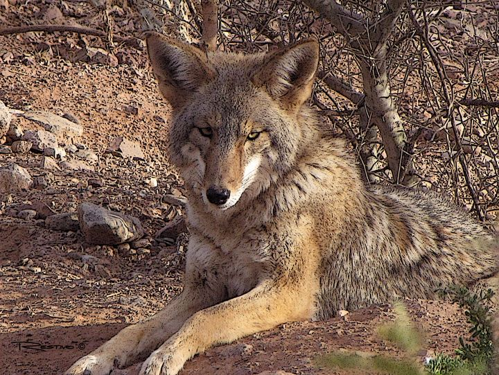 Desert Coyote - Terry Restivo