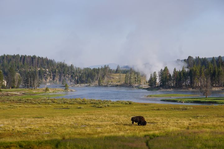 Bison in Yellowstone - Terry Restivo