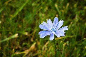 Prince Charming Blue Chicory