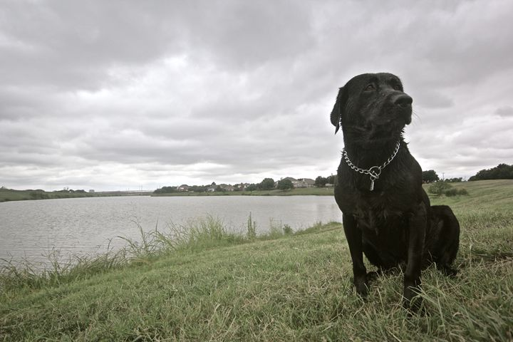 Labrador - Pure Images by Bre