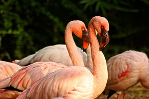 Flamingos of the Dallas Zoo