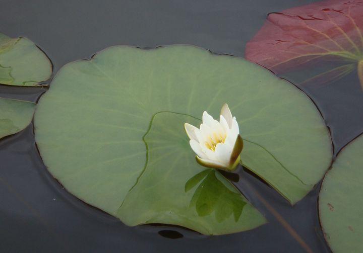 lily blossoms - Irina