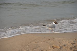 gull. Baltic Sea