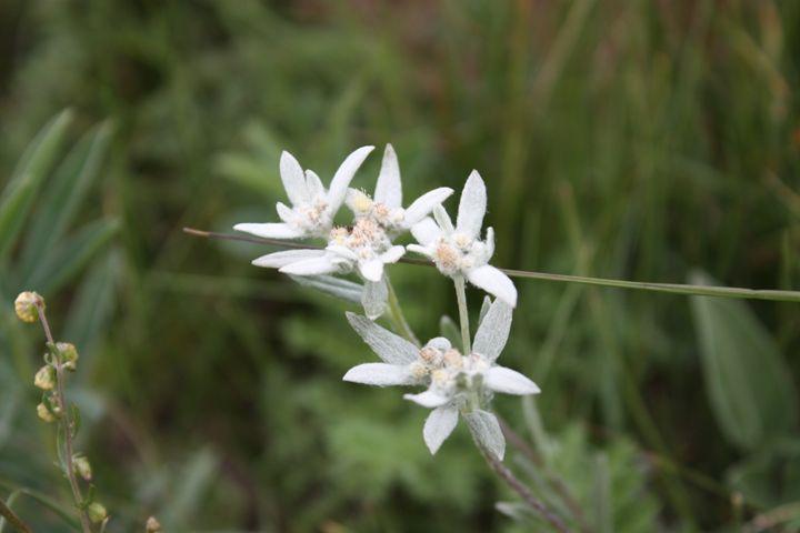 edelweiss - Irina