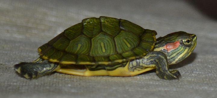 turtle - Irina