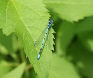 Common Blue Damselfly. Dragonfly.