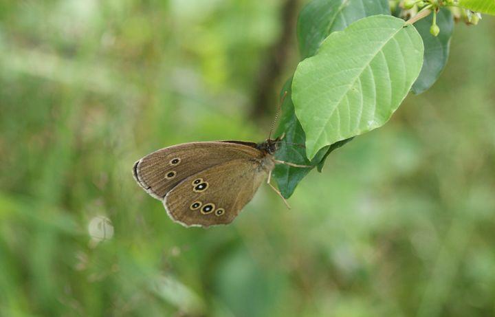 Ringlet butterfly - Patryk Frey