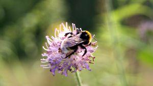 Bumblebee on a pink shamrock