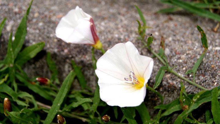 White bindweed - Patryk Frey