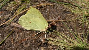 Yellow common brimstone butterfly