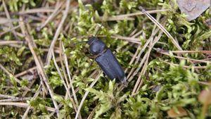 Black longhorn beetle
